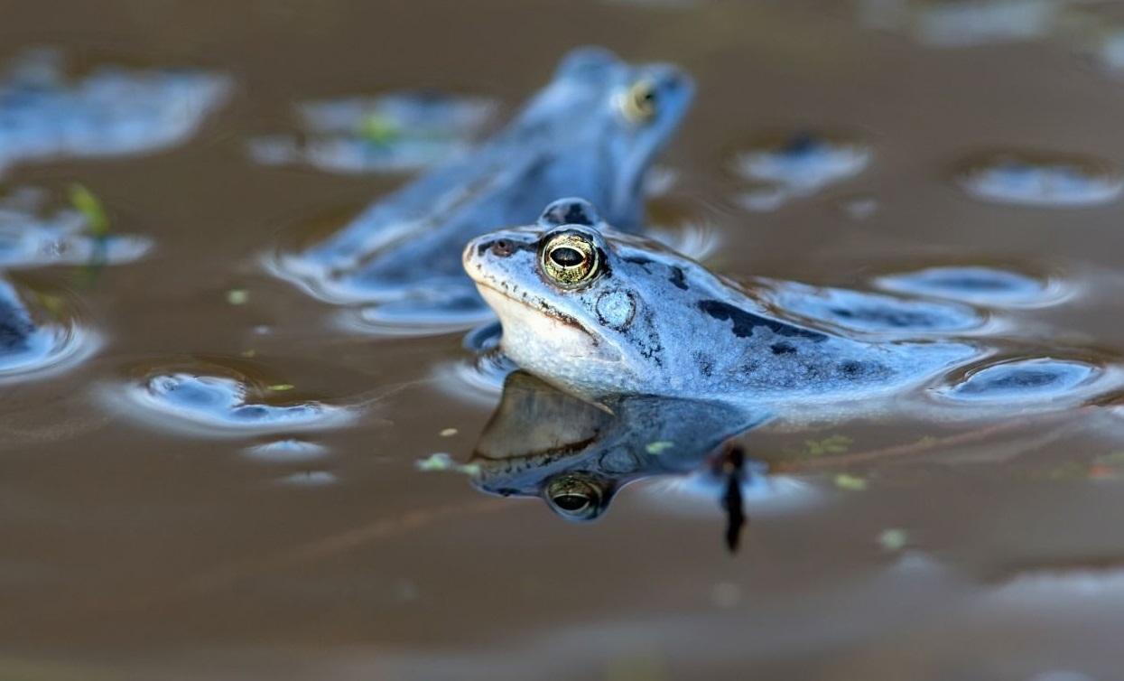 Su kurbağalarının nesli ihracat nedeniyle azalıyor; 'habitat' bozuldu!
