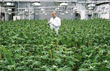 Sanayi bitkileri ve Teknolojileriyle kenevirden tıbbi, biyodizel ve etanol neden önemli?