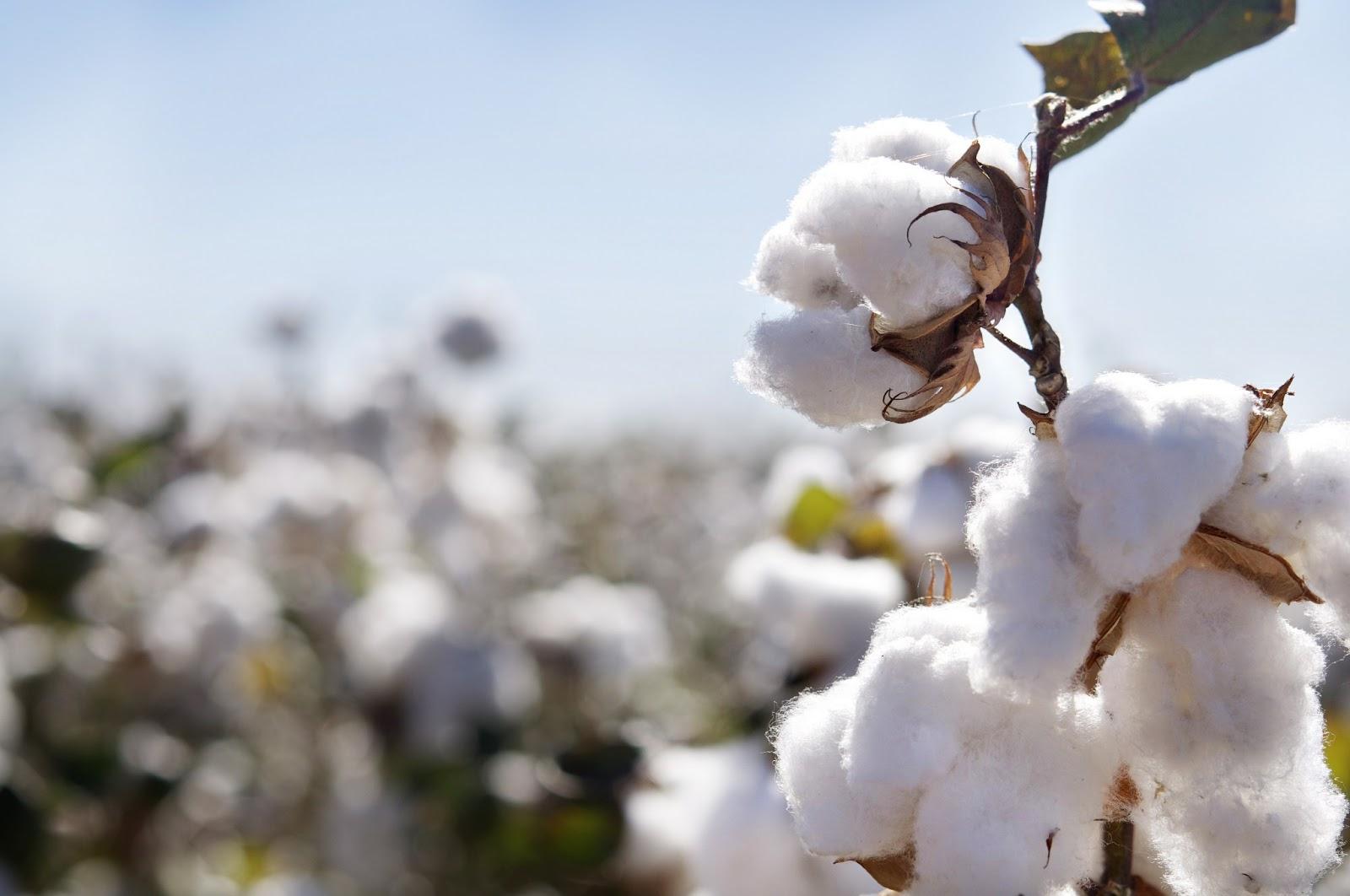 Organik tarım üretiminde pamuk talebi de artıyor