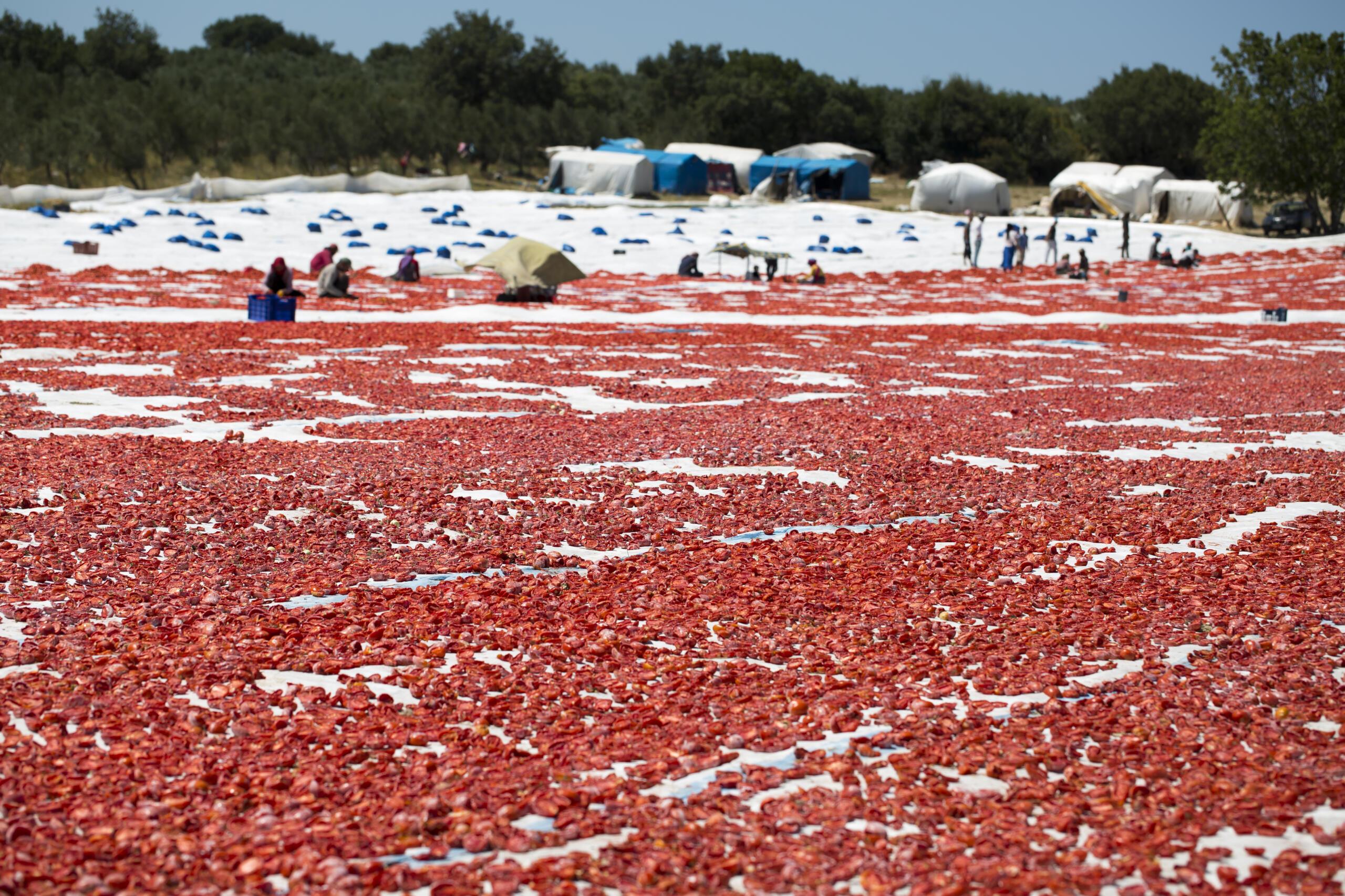 kuru domateste, Türkiye 100 milyon dolar ihracata koşuyor
