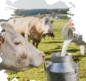 'Üretici Süt İneklerini Kesime Gönderiyor'